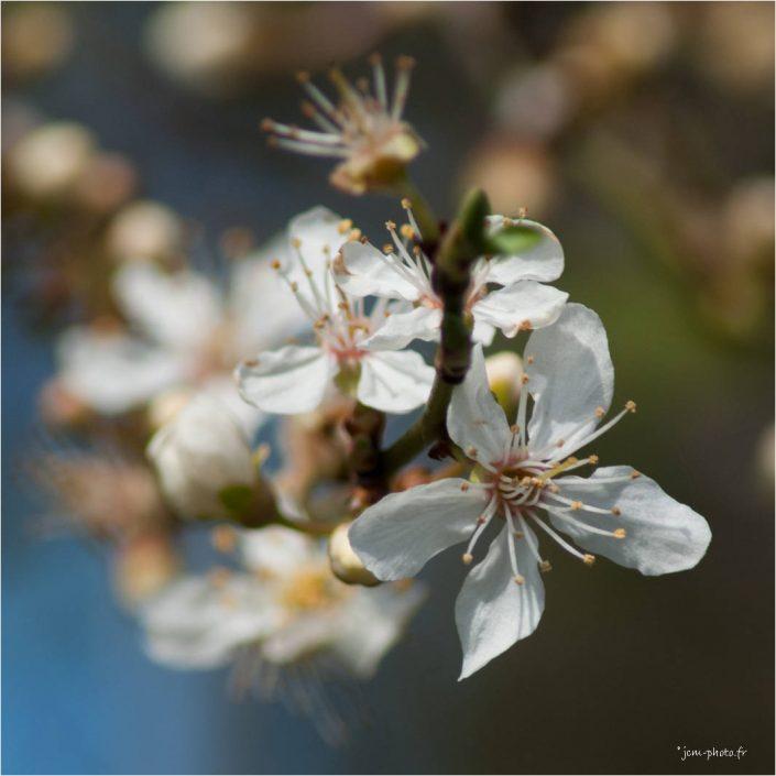 Printemps fleurs JeanClaudeM jcm-photo